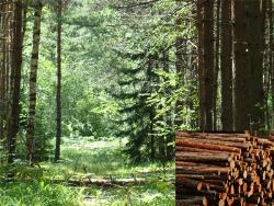 Экологи бьют тревогу: В Эстонии за 20 лет вырублено более трети тёмнохвойного леса