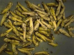 Министерство: Кузнечиков в Эстонии будут выращивать не в Нарве, а в Ляэне-Вирумаа
